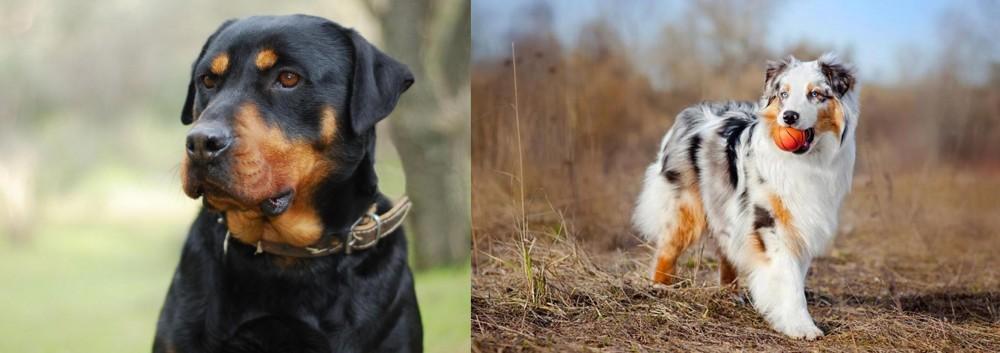 Australian Shepherd vs Rottweiler