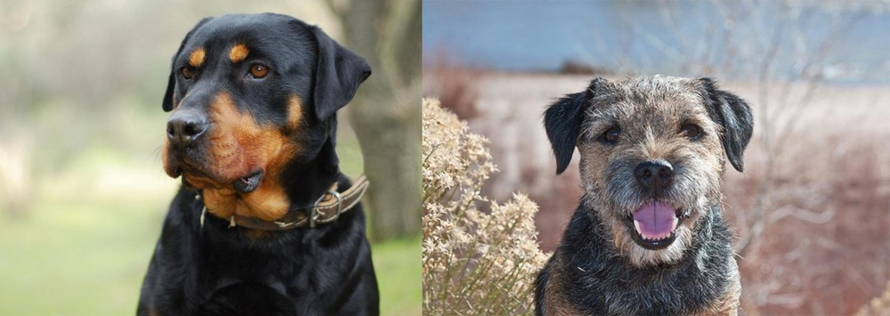 Border Terrier vs Rottweiler