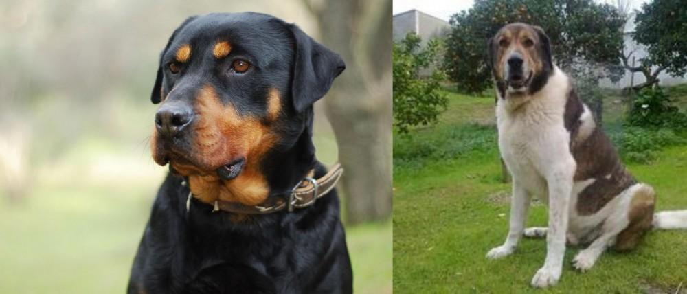 Cao de Gado Transmontano vs Rottweiler