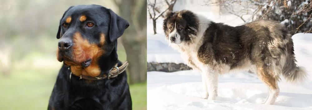 Caucasian Shepherd vs Rottweiler