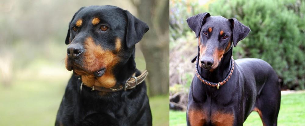 Doberman Pinscher vs Rottweiler