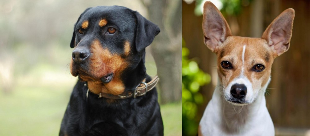 Rat Terrier vs Rottweiler