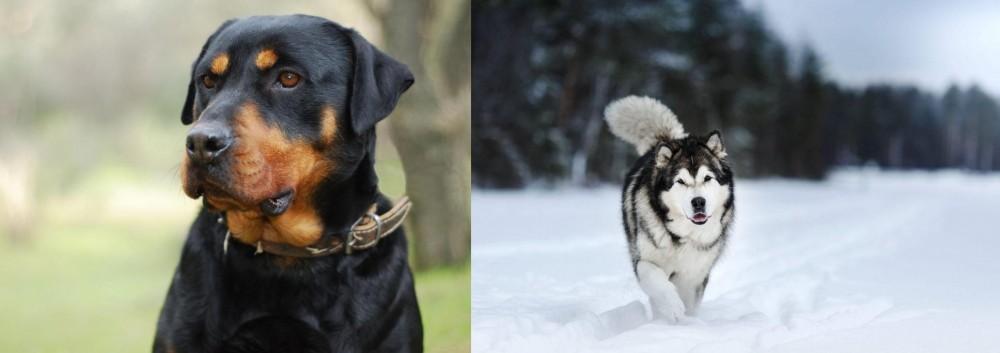 Siberian Husky vs Rottweiler