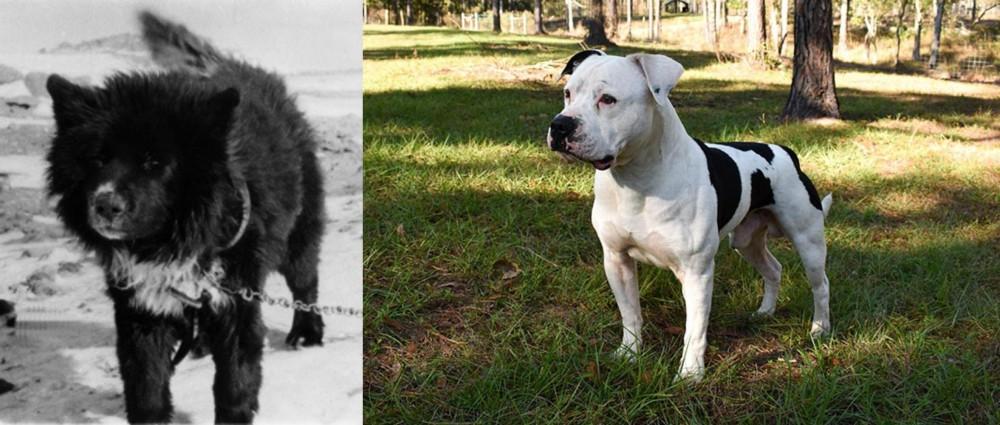 Sakhalin Husky vs American Bulldog