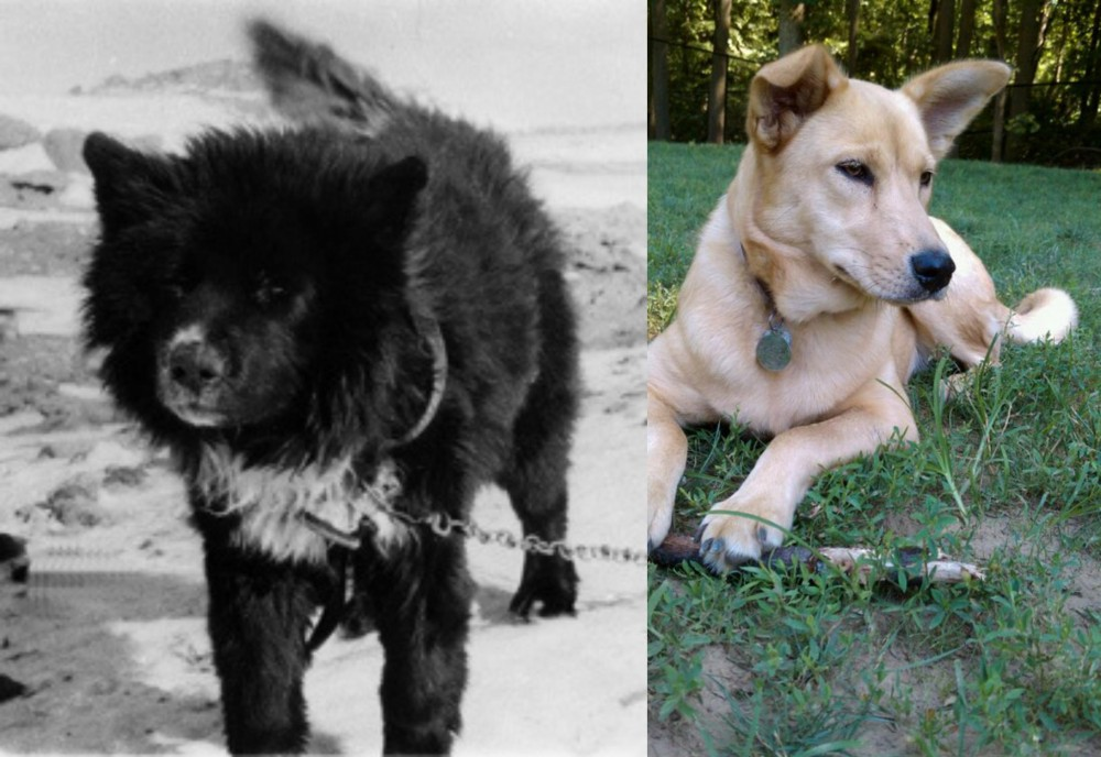 Sakhalin Husky vs Carolina Dog