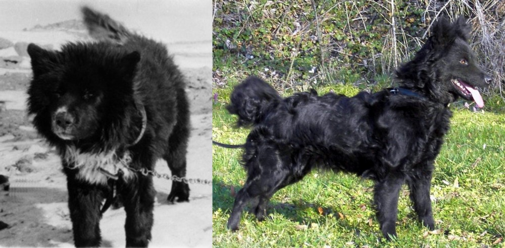 Sakhalin Husky vs Mudi