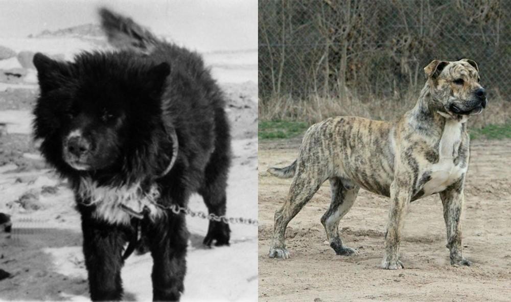 Sakhalin Husky vs Perro de Presa Mallorquin