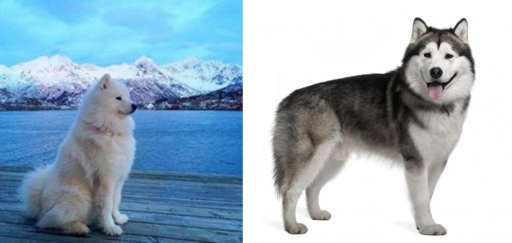Samoyed vs Alaskan Malamute