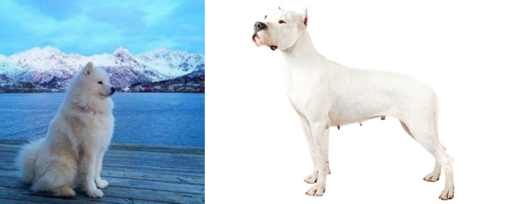 Samoyed vs Argentine Dogo