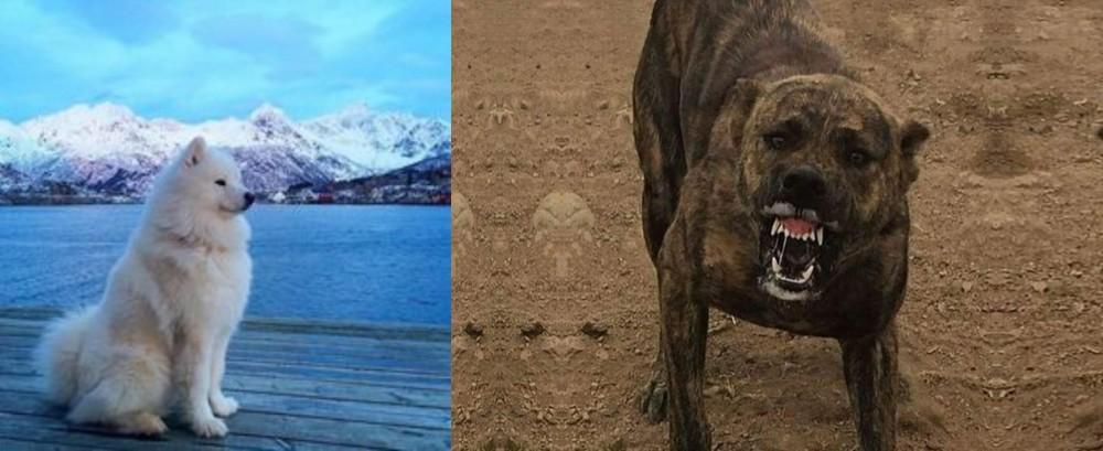 Samoyed vs Dogo Sardesco