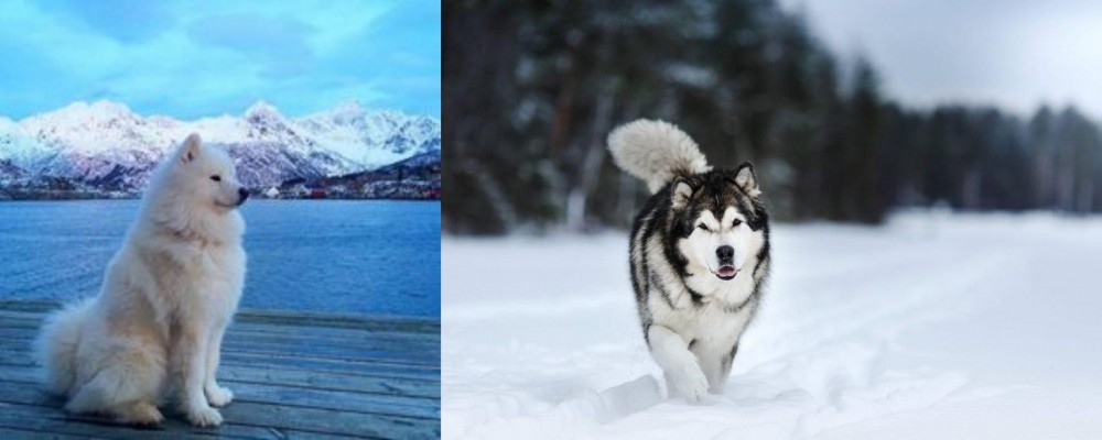 Samoyed vs Siberian Husky