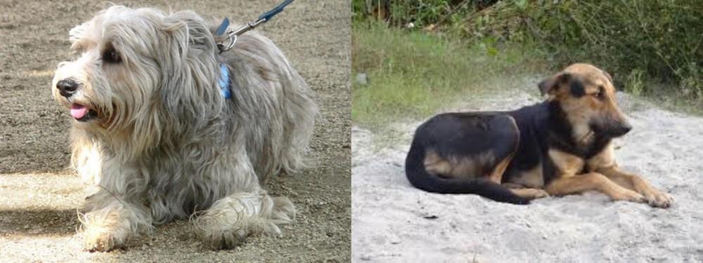 Sapsali vs Indian Pariah Dog