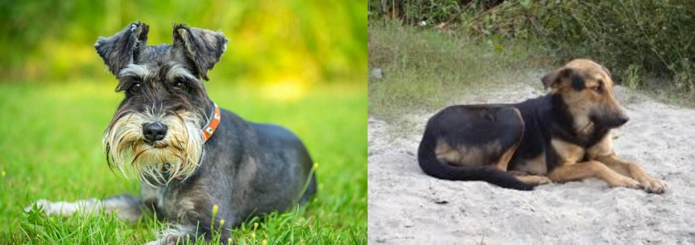 Schnauzer vs Indian Pariah Dog
