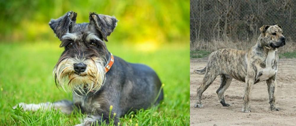 Schnauzer vs Perro de Presa Mallorquin