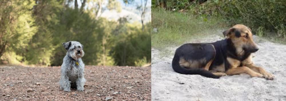 Schnoodle vs Indian Pariah Dog