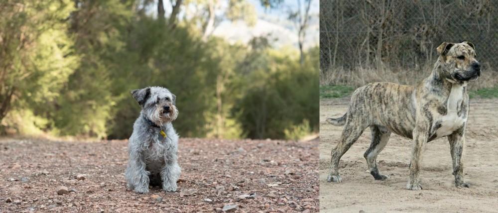 Schnoodle vs Perro de Presa Mallorquin