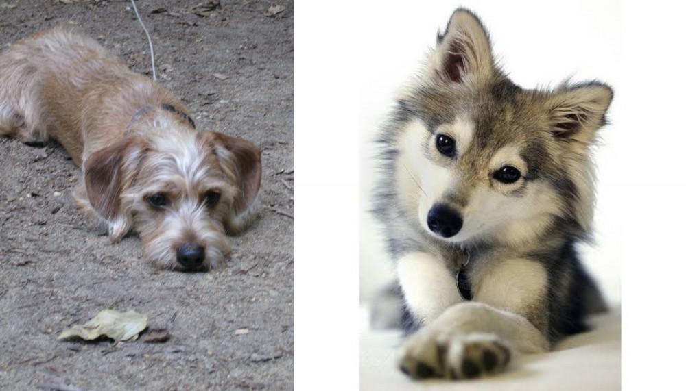 Schweenie vs Miniature Siberian Husky