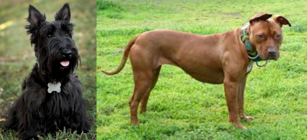 Scoland Terrier vs American Pit Bull Terrier