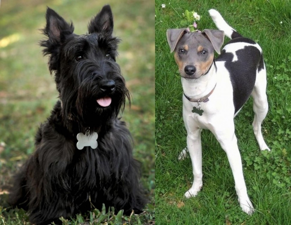 Scoland Terrier vs Brazilian Terrier