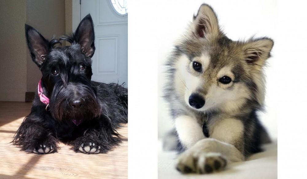 Scottish Terrier vs Miniature Siberian Husky