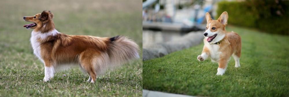 Shetland Sheepdog vs Corgi