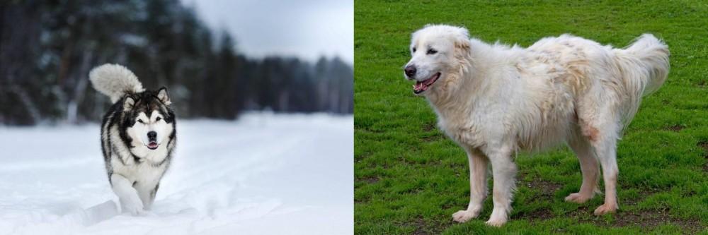 Abruzzenhund vs Siberian Husky