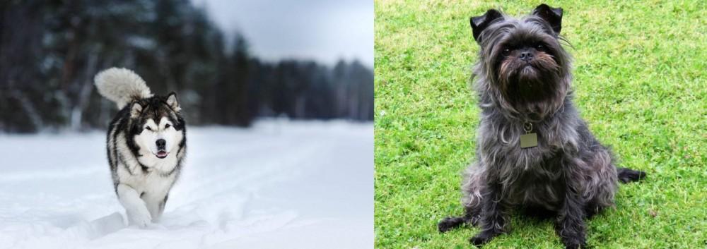 Affenpinscher vs Siberian Husky