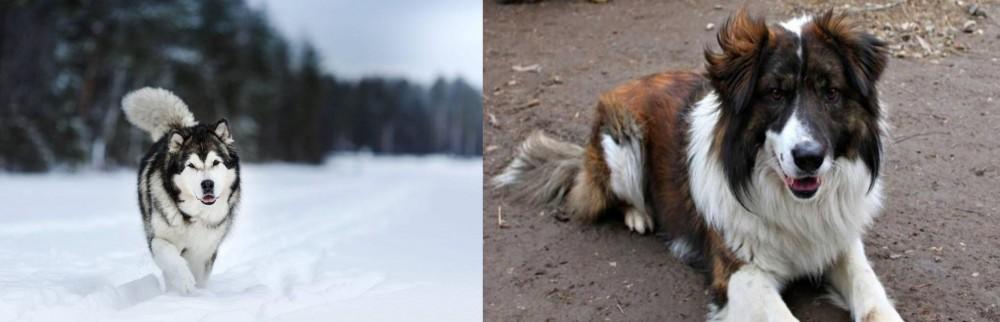 Aidi vs Siberian Husky