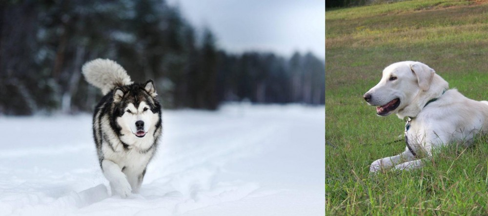 Akbash Dog vs Siberian Husky