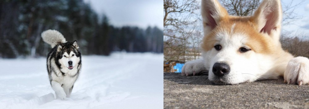 Akita vs Siberian Husky