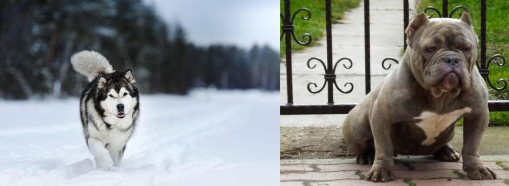 American Bully vs Siberian Husky