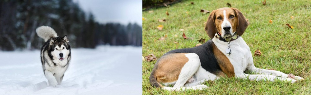 American English Coonhound vs Siberian Husky