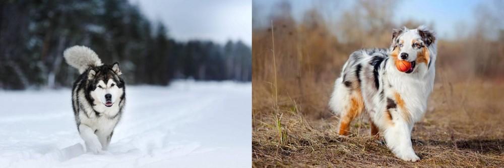 Australian Shepherd vs Siberian Husky