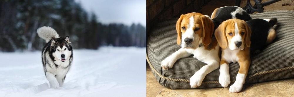 Siberian Husky vs Beagle