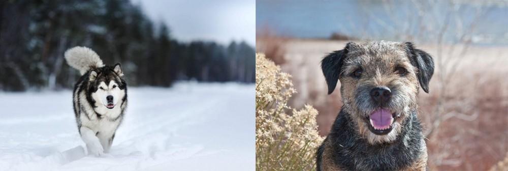Border Terrier vs Siberian Husky