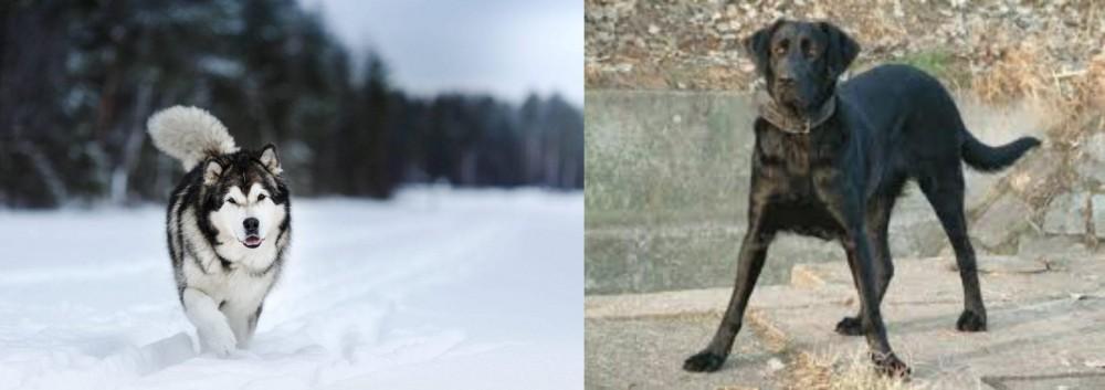 Cao de Castro Laboreiro vs Siberian Husky
