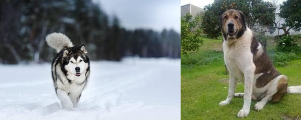 Cao de Gado Transmontano vs Siberian Husky