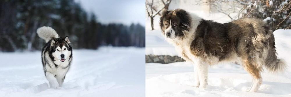 Caucasian Shepherd vs Siberian Husky