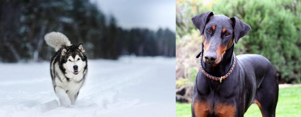 Doberman Pinscher vs Siberian Husky