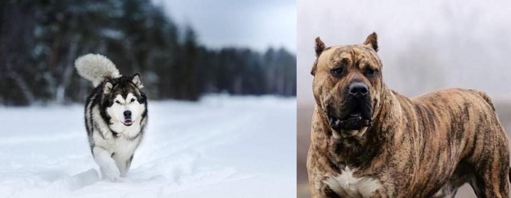 Perro de Presa Canario vs Siberian Husky