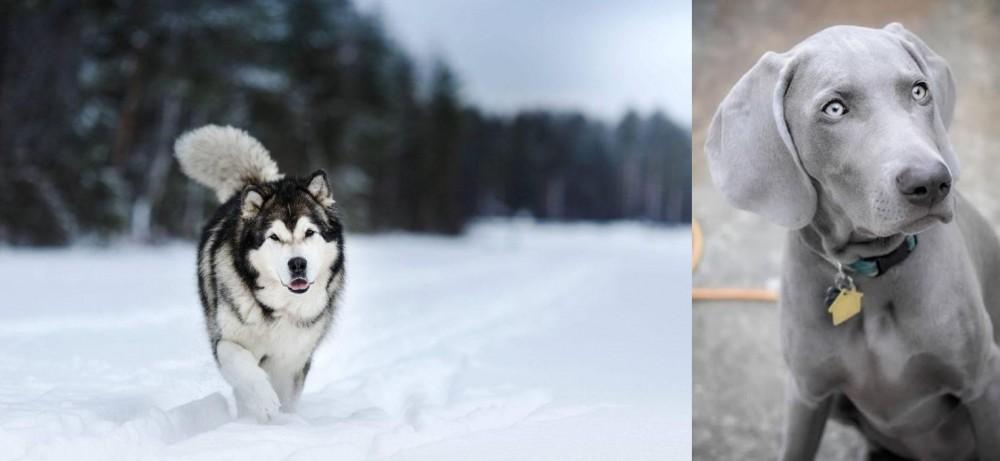Weimaraner vs Siberian Husky