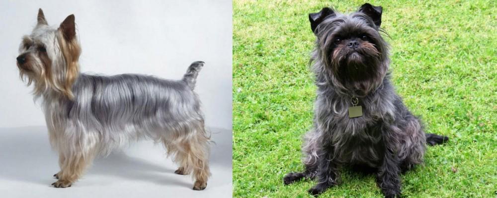 Silky Terrier vs Affenpinscher