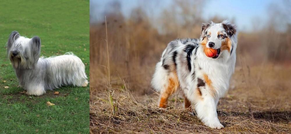 Skye Terrier vs Australian Shepherd - Breed Comparison