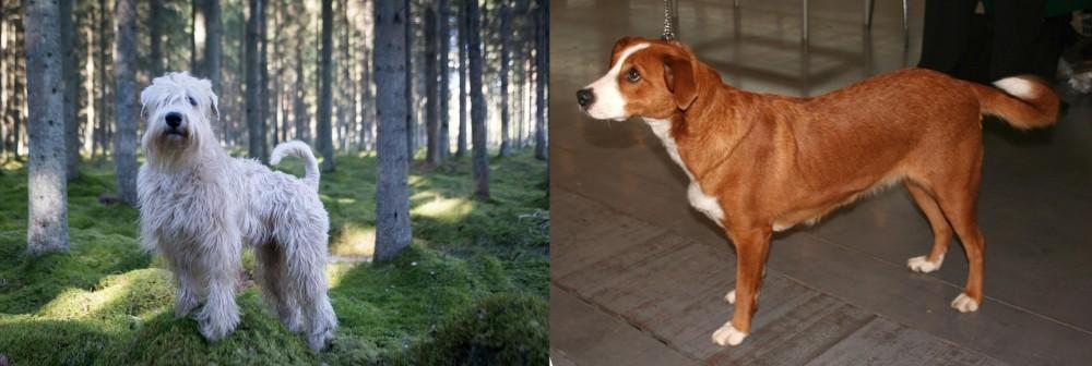 Soft-Coated Wheaten Terrier vs Austrian Pinscher