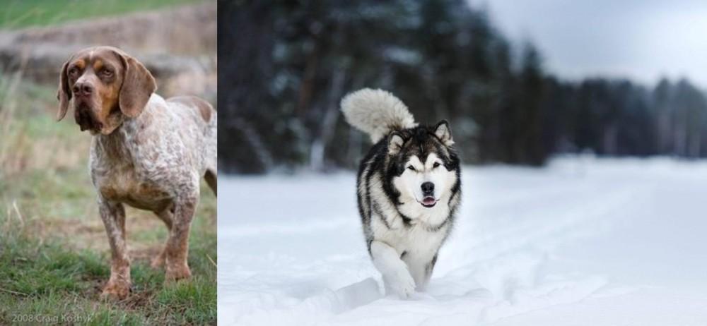 Spanish Pointer vs Siberian Husky