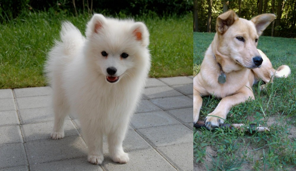 Spitz vs Carolina Dog