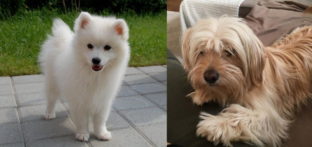 Spitz Vs Cyprus Poodle Breed