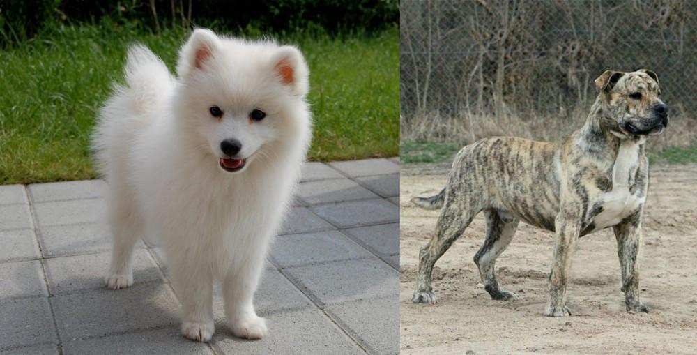 Spitz vs Perro de Presa Mallorquin