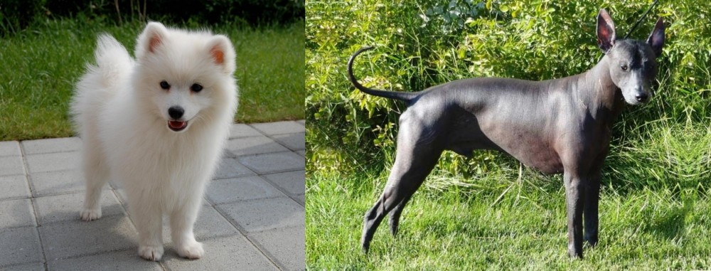 Spitz vs Peruvian Hairless