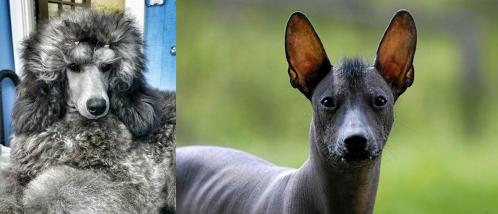 Standard Poodle vs Mexican Hairless